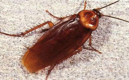 cockroach pest control sydney